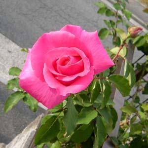 Mac_rose2