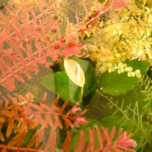 Anubias_flower